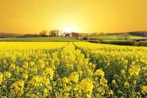 Желтые цветы 13_0008