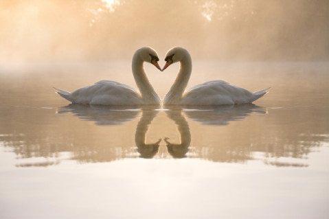 Влюбленные лебеди 15_0044