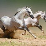 Лошади 15_0069