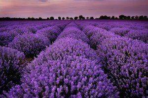 Лаванда цветы 38753