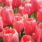 Тюльпани -460901