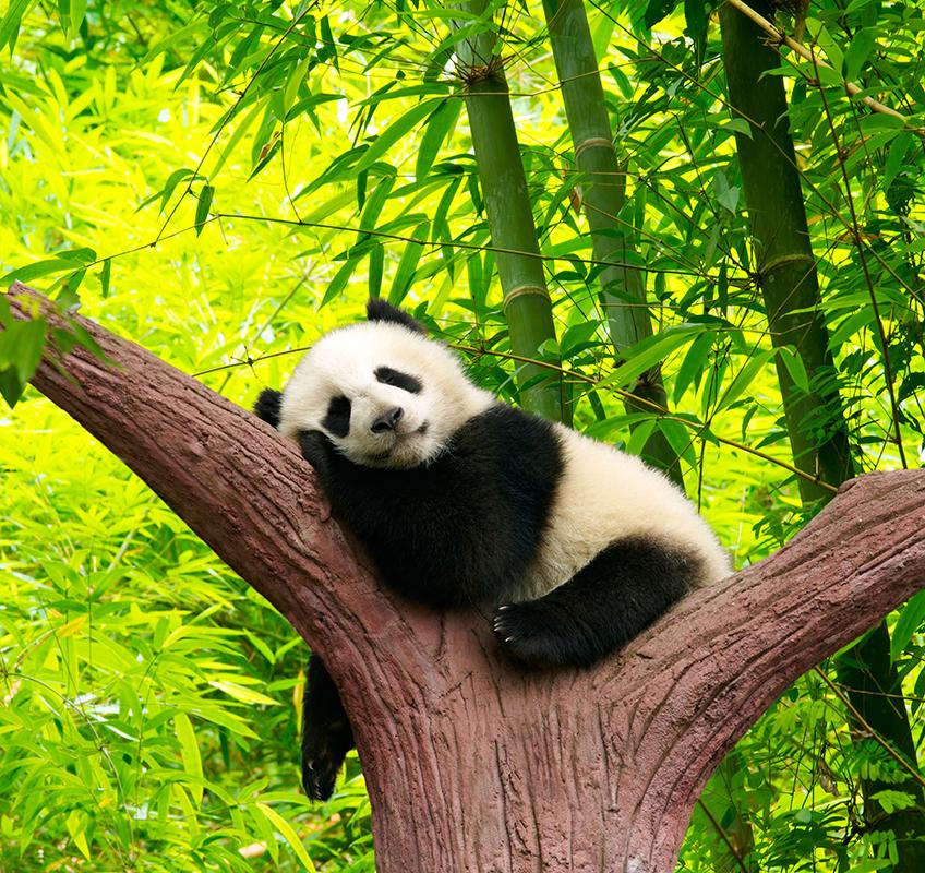 панда-120544951