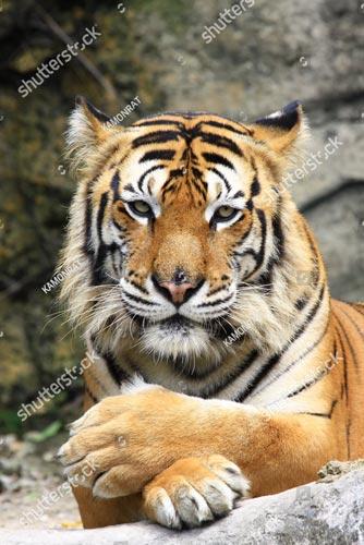 Фотообои Тигр 108331763