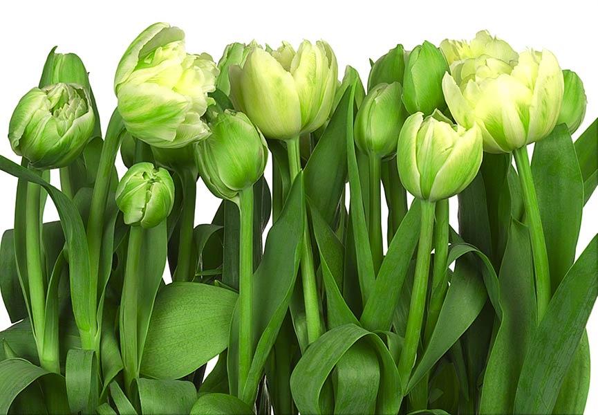 Фотообои Тюльпаны 24235632753