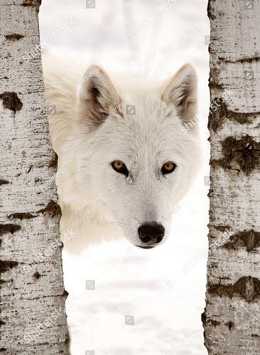 Фотообои Волк 96694843