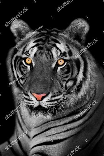 Фотошпалери Тигр 213402178
