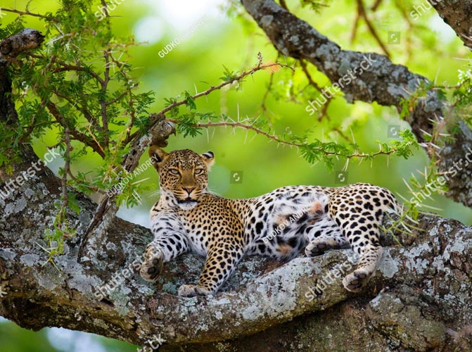 Фотошпалери Леопард 256381828