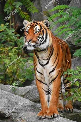 Фотошпалери Тигр 1069050197