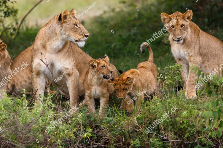 Фотообои Львиная семья 273031838