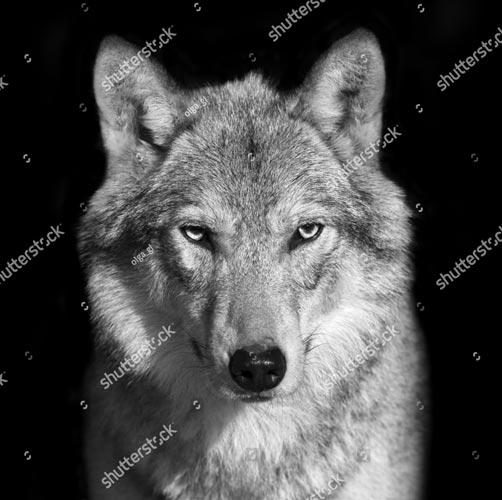 Фотообои Волк 339198944