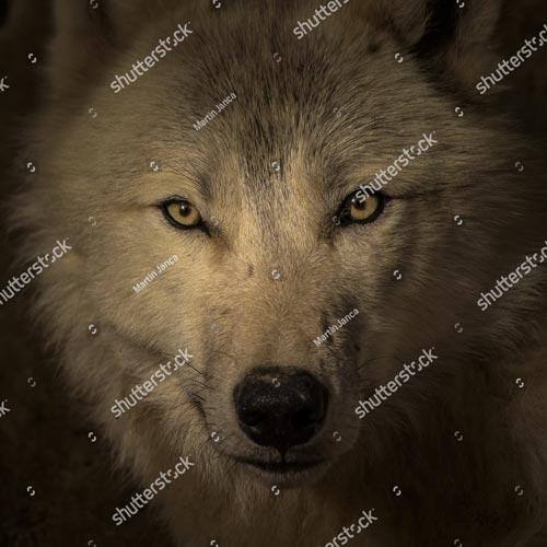 Фотообои Волк 377297308