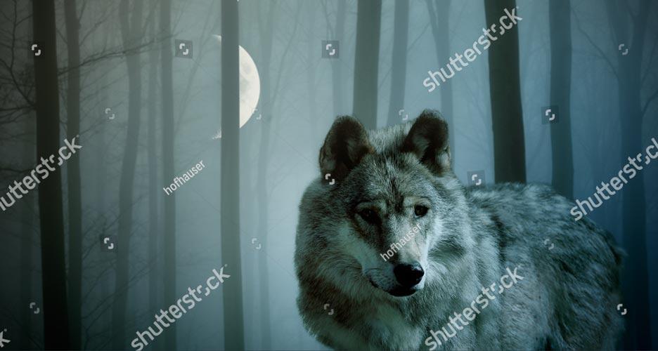 Фотообои Волк 465169463