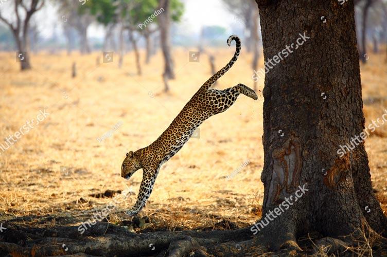 Фотошпалери Леопард 518895910
