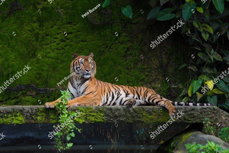 Фотообои Тигр 730058329