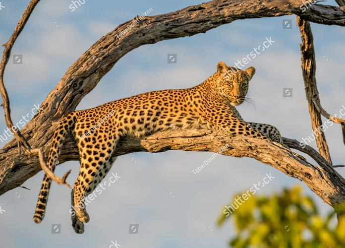 Фотообои Леопард 1063407407