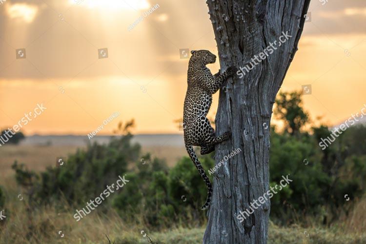 Фотошпалери Леопард 399029527