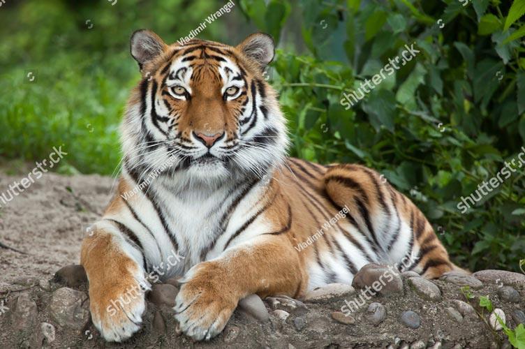 Фотошпалери Тигр 536201545