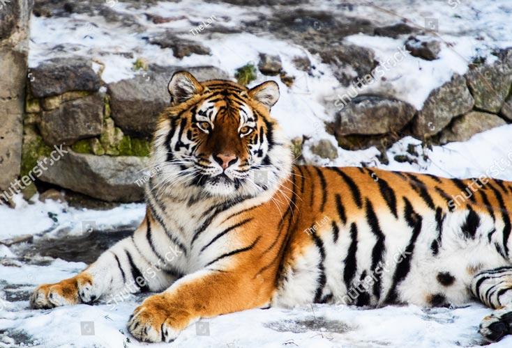 Фотошпалери Тигр 559823047