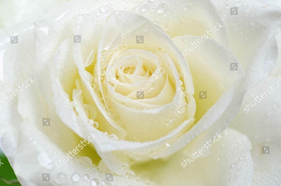 Фотообои белая роза 123933967