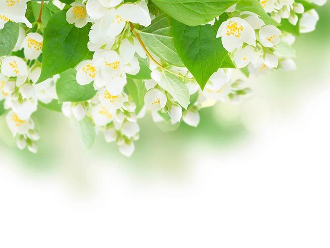 фотошпалери квіти жасмин