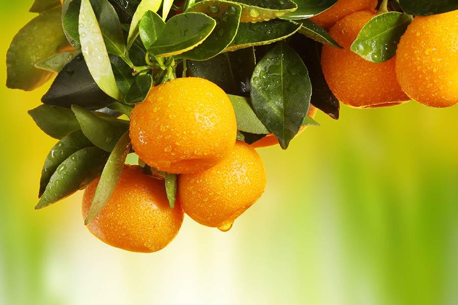 соковиті апельсини фотошпалери на стіну