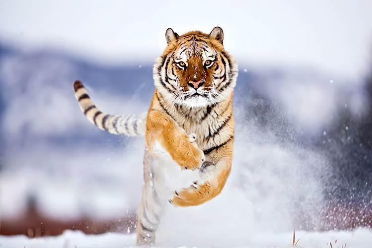 тигр зимой фотообои