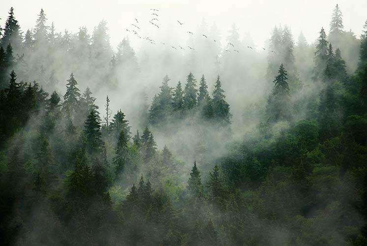 фотошпалери ліс в тумані 564687324687
